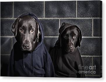 Hoody Dogs Canvas Print by Justin Paget