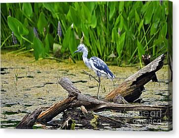 Hooligan Heron Canvas Print by Al Powell Photography USA