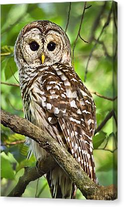 Canvas Print featuring the photograph Hoot Owl by Christina Rollo
