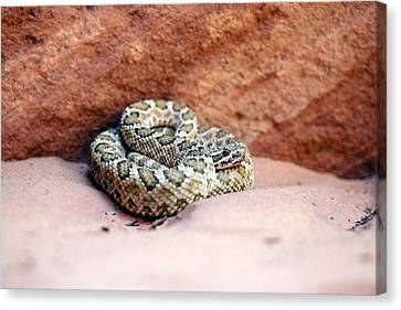 Hopi Rattlesnake Canvas Print by Science Photo Library