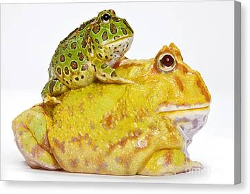 Horned Frogs Canvas Print by Michel Gunther