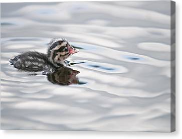 Horned Grebe Podiceps Auritus Chick Canvas Print by Kenneth Whitten