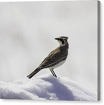 Horned Lark Portrait Canvas Print by Thomas Young