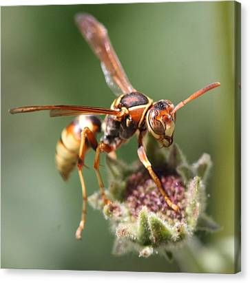 Canvas Print featuring the photograph Hornet On Flower by Nathan Rupert