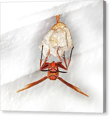 Hornet Preparing Paper Nest Canvas Print