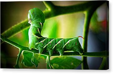 Hornworm Canvas Print by Paul  Wilford