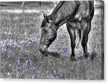Horse And Bluebonnets - Color Isolation Canvas Print by Lorri Crossno