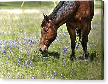 Horse And Bluebonnets IIi Canvas Print by Lorri Crossno