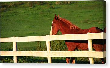 Horse And White Fence Canvas Print by Dan Sproul