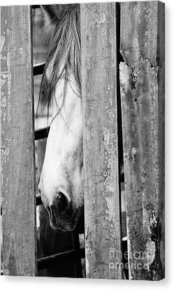 Horse Board 3 Canvas Print by Lynda Dawson-Youngclaus