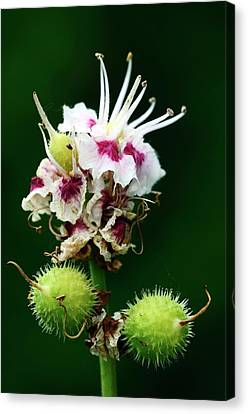 Chestnut Horse Canvas Print - Horse Chestnut Flowers And Fruits by Colin Varndell