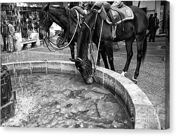 Horse Drink In Santiago Mono Canvas Print by John Rizzuto