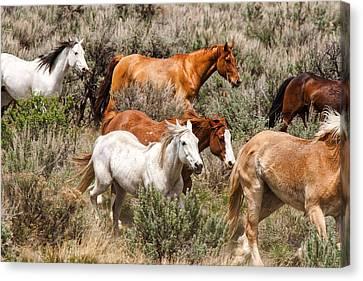 Horse Drive Chaos 2 Canvas Print