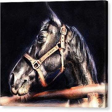 Horse Face - Pencil Drawing Canvas Print by Daliana Pacuraru