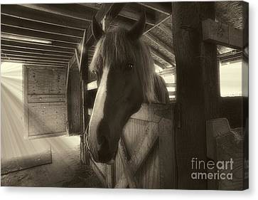 Horse In Barn Stall Canvas Print by Dan Friend