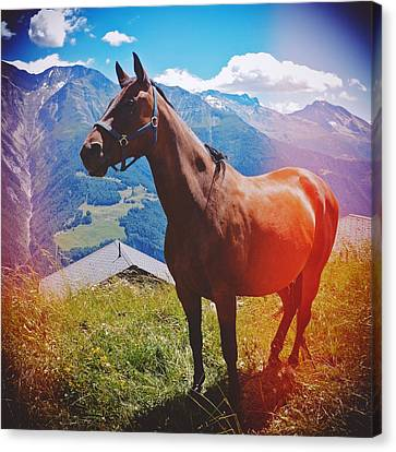 Horse In The Alps Canvas Print by Matthias Hauser
