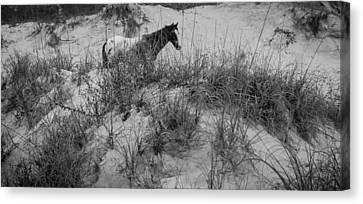 Horse In The Dunes Canvas Print