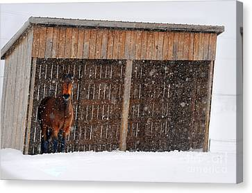 Horse Looking At Snow Storm Canvas Print by Dan Friend