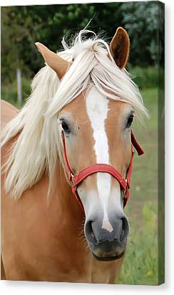 Horse Portrait Canvas Print by Aimee L Maher Photography and Art Visit ALMGallerydotcom