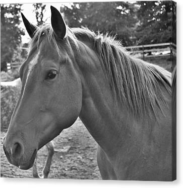 Horse Canvas Print by Shelby Turner