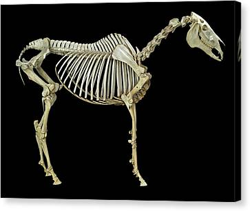 Horse Skeleton Canvas Print by Natural History Museum, London
