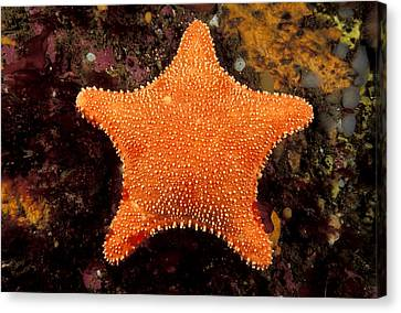 Horse Star Canvas Print by Andrew J. Martinez