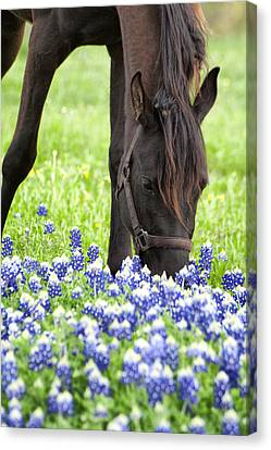 Horse With Bluebonnets Canvas Print