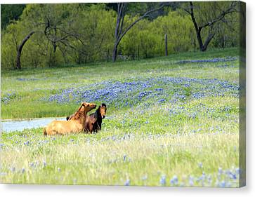 Horses And Bluebonnets Canvas Print by Lorri Crossno