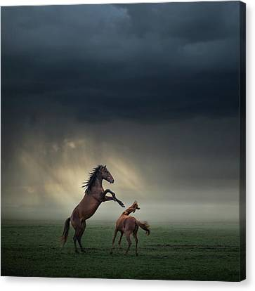 Horses Fight Canvas Print
