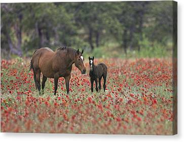 Horses In A Field Of Texas Wildflowers 2 Canvas Print by Rob Greebon
