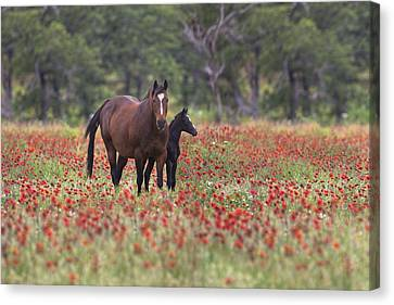 Horses In A Field Of Texas Wildflowers Canvas Print by Rob Greebon
