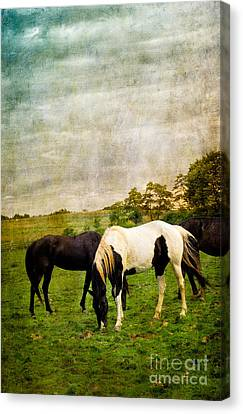 Horses In Field Canvas Print by Amy Cicconi