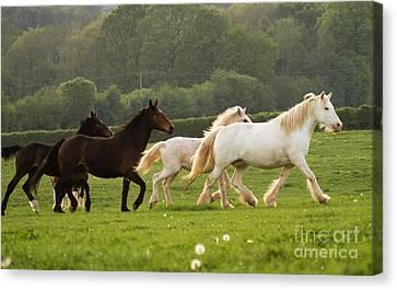 Horses On The Meadow Canvas Print by Angel  Tarantella