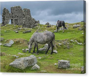 Horses On The Moors Of Dartmoor Canvas Print by Patricia Hofmeester