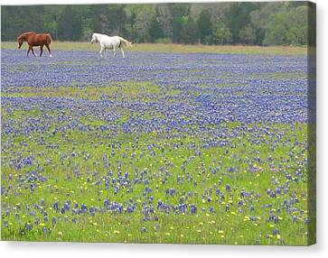 Horses Running In Field Of Bluebonnets Canvas Print by Connie Fox