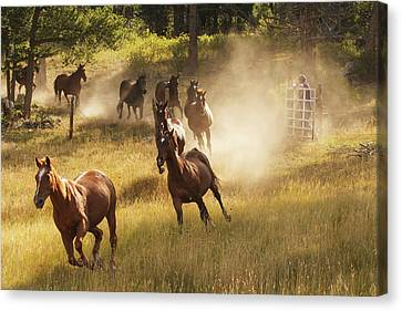 Horses Running Into Pasture In Early Canvas Print