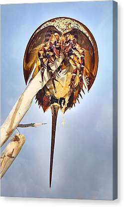 Horseshoe Crab Skeleton Canvas Print