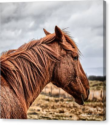 Horsey Horsey Canvas Print by John Farnan