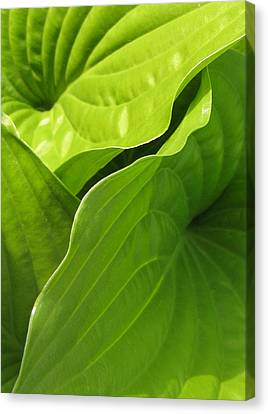 Hosta Leaves Canvas Print by Tracy Male