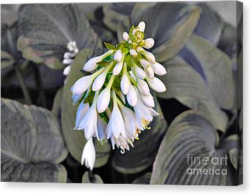 Hosta Ready To Bloom Canvas Print