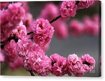 Hot Pink Blossom Canvas Print by Joy Watson