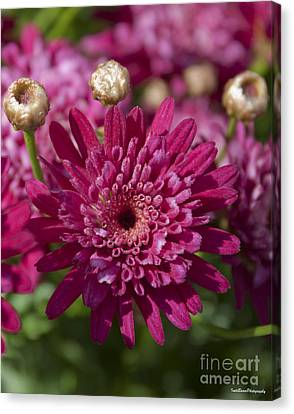 Hot Pink Chrysanthemum Canvas Print by Ivete Basso Photography