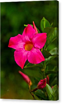 Hot Pink Dipladenia Canvas Print by Karol Livote