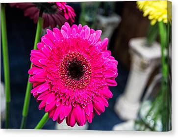 Hot Pink Gerber Daisy Canvas Print