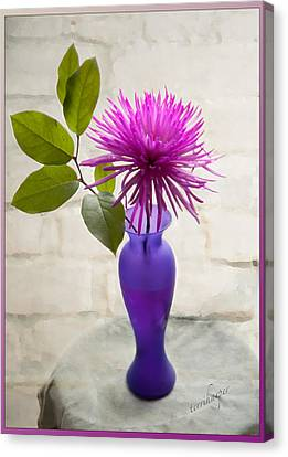 Hot Pink Spider Mum Canvas Print by Terri Harper