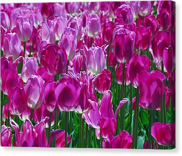 Hot Pink Tulips 3 Canvas Print by Allen Beatty