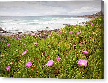 Hottentot Fig Canvas Print