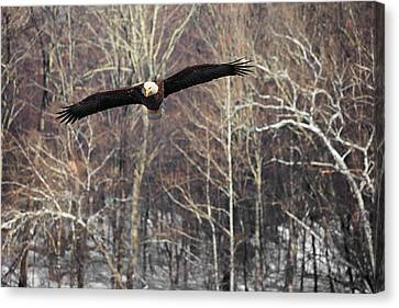 Housatonic River Eagle Canvas Print by Bill Wakeley