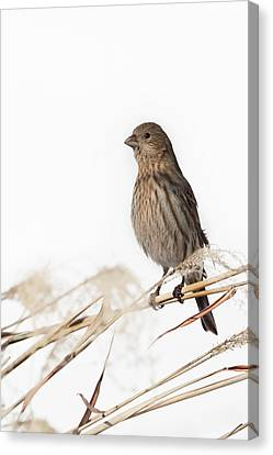 House Finch Female Canvas Print by Bill Wakeley