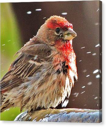 House Finch Canvas Print by Helen Carson